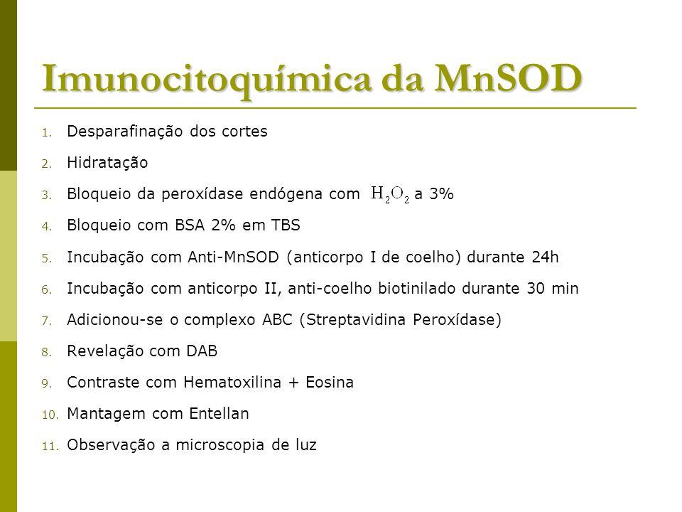 Imunocitoquímica da MnSOD 1.Desparafinação dos cortes 2.
