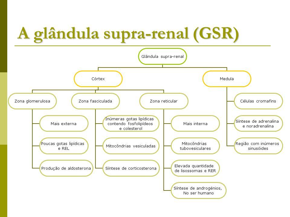 A glândula supra-renal (GSR) Glândula supra-renal Córtex Zona glomerulosa Mais externa Poucas gotas lipídicas e REL Produção de aldosterona Zona fasciculada Inúmeras gotas lipídicas contendo fosfolipídeos e colesterol Mitocôndrias vesiculadas Síntese de corticosterona Zona reticular Mais interna Mitocôndrias tubovesiculares Elevada quantidade de lisossomas e RER Síntese de androgénios, No ser humano Medula Células cromafins Síntese de adrenalina e noradrenalina Região com inúmeros sinusóides