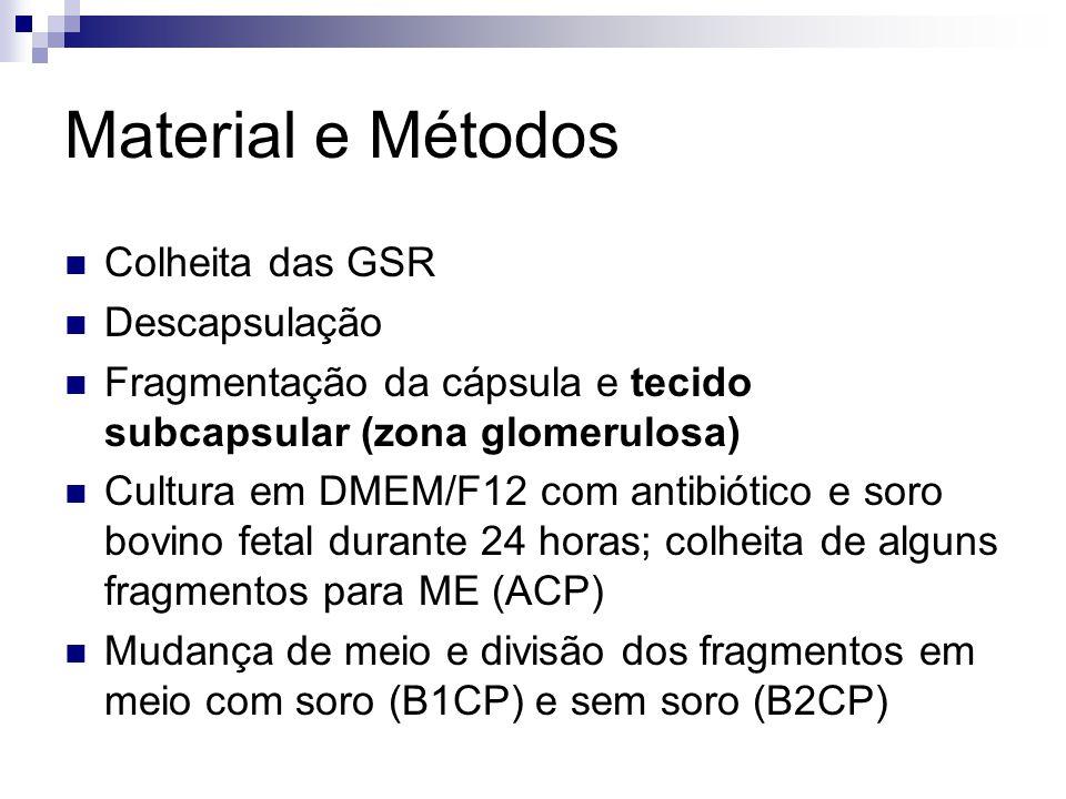 Material e Métodos Colheita das GSR Descapsulação Fragmentação da cápsula e tecido subcapsular (zona glomerulosa) Cultura em DMEM/F12 com antibiótico e soro bovino fetal durante 24 horas; colheita de alguns fragmentos para ME (ACP) Mudança de meio e divisão dos fragmentos em meio com soro (B1CP) e sem soro (B2CP)