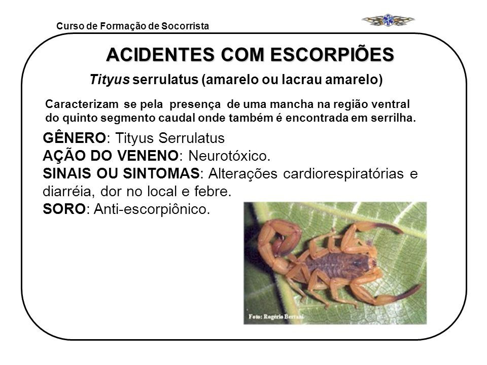 Curso de Formação de Socorrista ACIDENTES COM ESCORPIÕES Tityus serrulatus (amarelo ou lacrau amarelo) Caracterizam se pela presença de uma mancha na