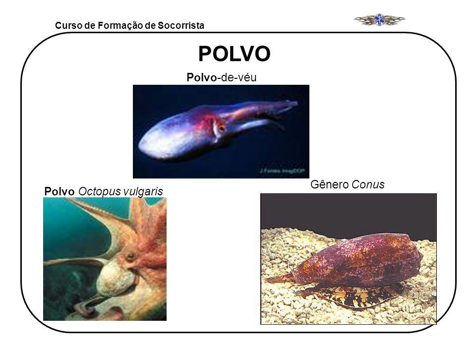 Curso de Formação de Socorrista Polvo Octopus vulgaris Polvo-de-véu Gênero Conus POLVO