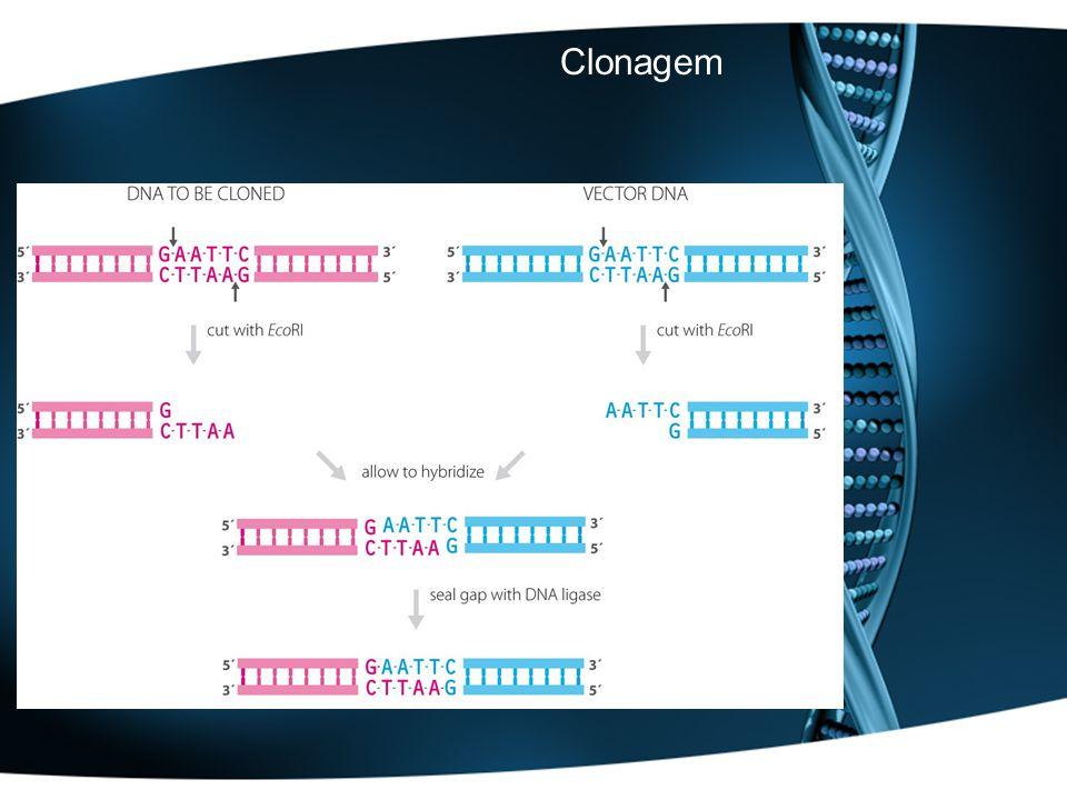 MONTAR UMA REACÇÃO DE RESTRIÇÃO Instabilidade térmica Concentração de glicerol Tampão de reacção Actividade enzimática: –1UI digere 1µg de DNA em 50µl em uma hora –conformação e pureza do DNA –utilizar 2-3 x mais enzima –volume total > 50µl –Homogeneizar por pipetagem –Verificar a temperatura de reacção