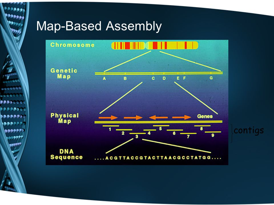 Sequencing Strategies Map-Based Assembly: Create a detailed complete fragment map Time-consuming and expensive Provides scaffold for assembly Original