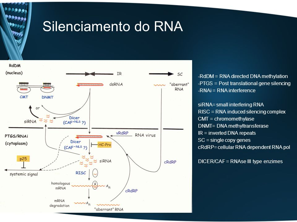 Silenciamento do RNA -RdDM = RNA directed DNA methylation -PTGS = Post translational gene silencing -RNAi = RNA interference siRNA= small interfering