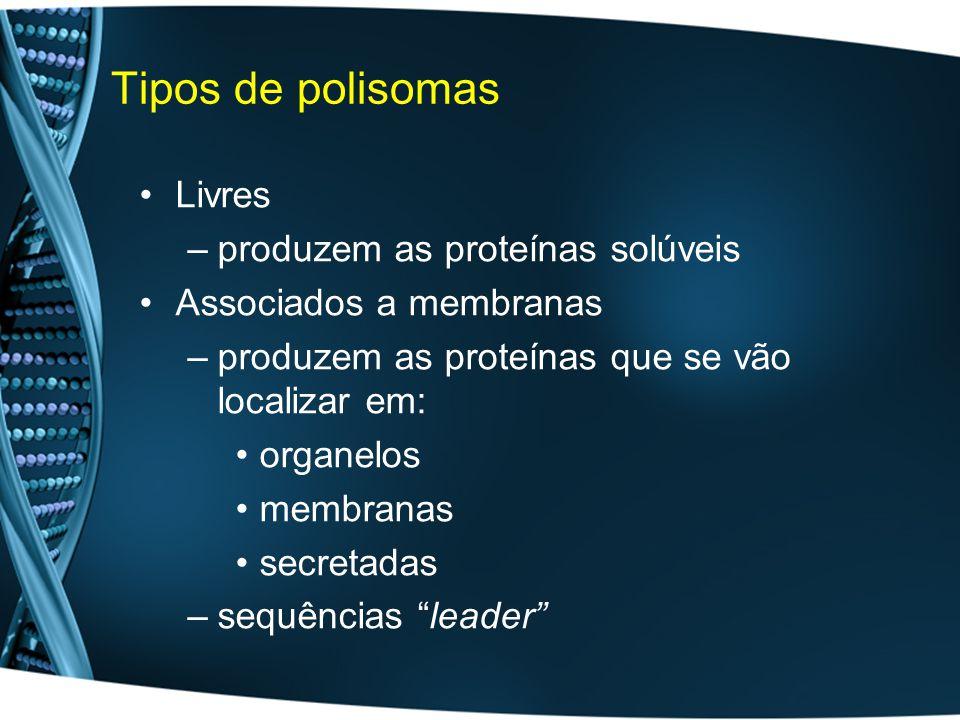 Tipos de polisomas Livres –produzem as proteínas solúveis Associados a membranas –produzem as proteínas que se vão localizar em: organelos membranas secretadas –sequências leader