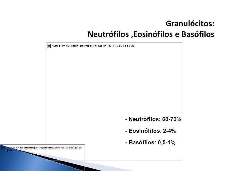Granulócitos: Neutrófilos,Eosinófilos e Basófilos - Neutrófilos: 60-70% - Eosinófilos: 2-4% - Basófilos: 0,5-1%
