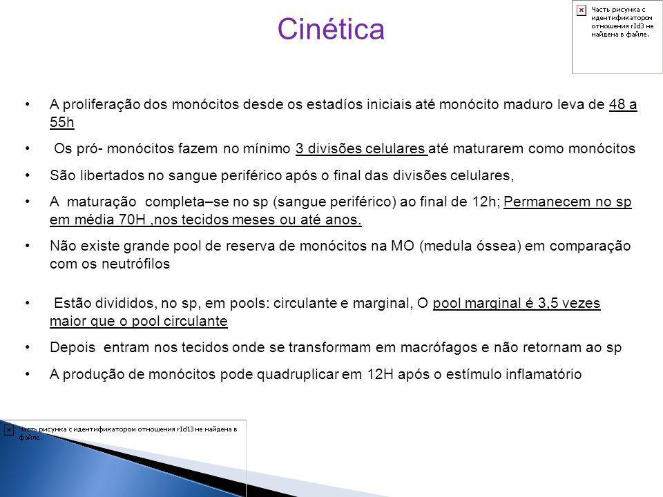 Cinética A proliferação dos monócitos desde os estadíos iniciais até monócito maduro leva de 48 a 55h Os pró- monócitos fazem no mínimo 3 divisões cel