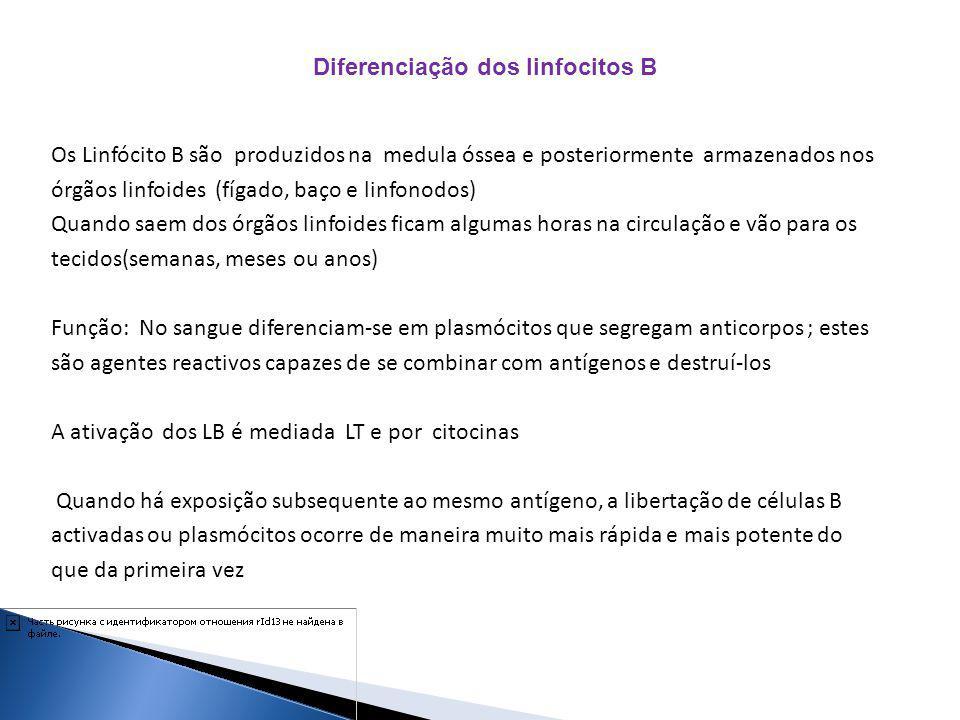 Diferenciação dos linfocitos B Os Linfócito B são produzidos na medula óssea e posteriormente armazenados nos órgãos linfoides (fígado, baço e linfono