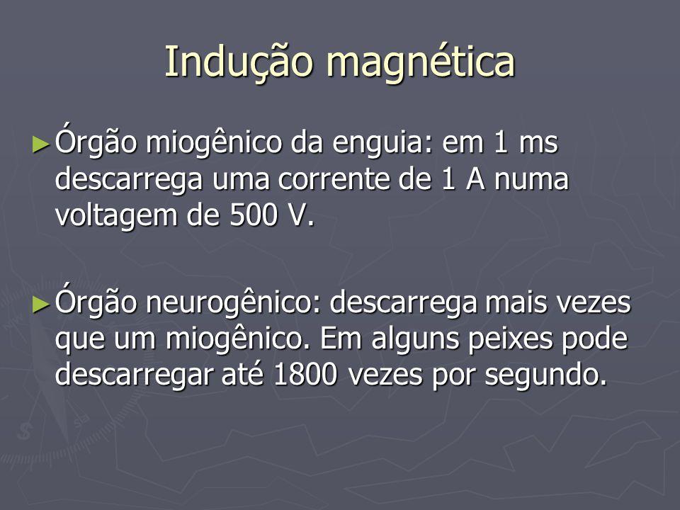 Indução magnética Órgão miogênico da enguia: em 1 ms descarrega uma corrente de 1 A numa voltagem de 500 V. Órgão miogênico da enguia: em 1 ms descarr