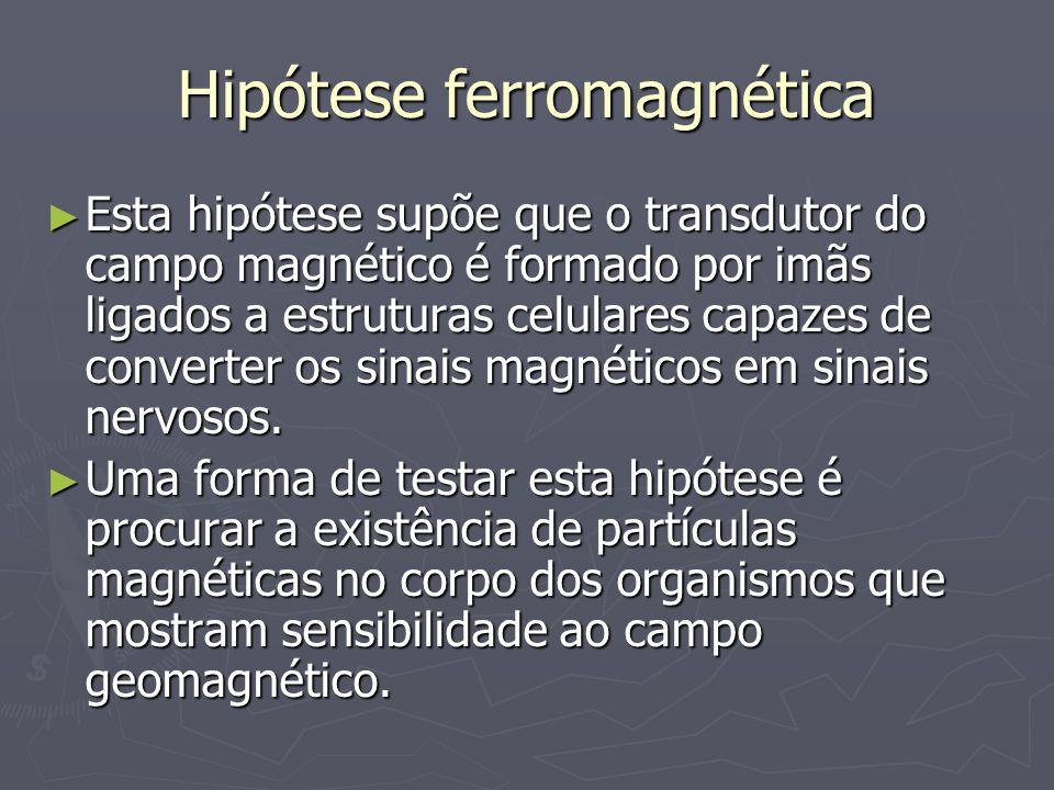 Hipótese ferromagnética Esta hipótese supõe que o transdutor do campo magnético é formado por imãs ligados a estruturas celulares capazes de converter os sinais magnéticos em sinais nervosos.