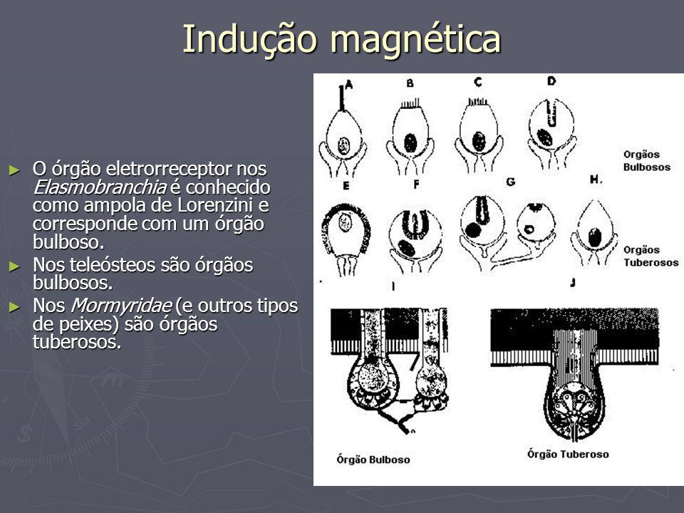 Indução magnética O órgão eletrorreceptor nos Elasmobranchia é conhecido como ampola de Lorenzini e corresponde com um órgão bulboso. O órgão eletrorr