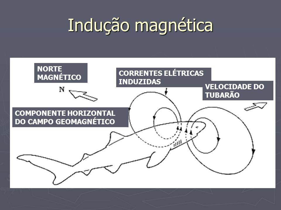 Indução magnética NORTE MAGNÉTICO CORRENTES ELÉTRICAS INDUZIDAS VELOCIDADE DO TUBARÃO COMPONENTE HORIZONTAL DO CAMPO GEOMAGNÉTICO
