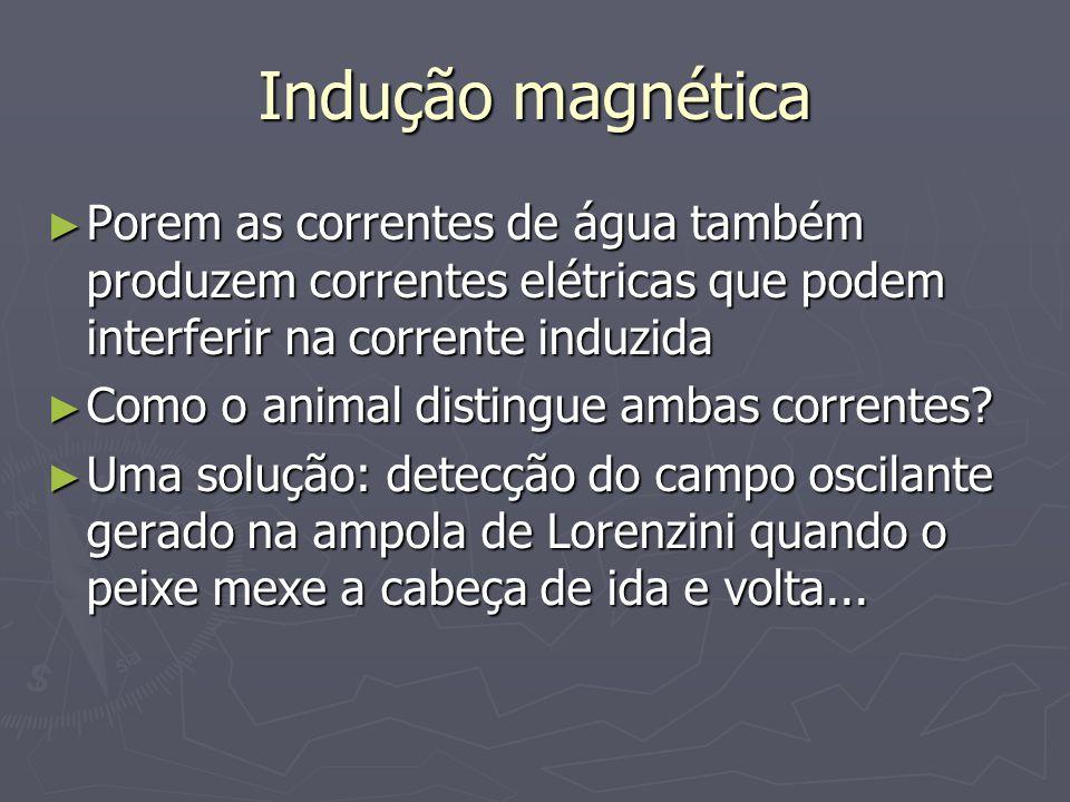 Indução magnética Porem as correntes de água também produzem correntes elétricas que podem interferir na corrente induzida Porem as correntes de água também produzem correntes elétricas que podem interferir na corrente induzida Como o animal distingue ambas correntes.