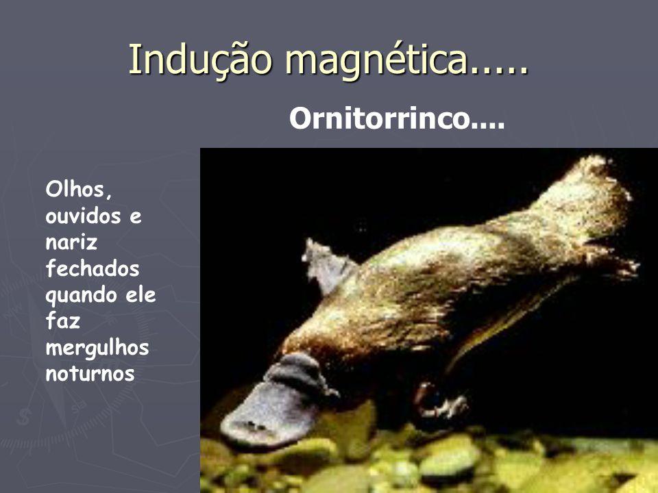 Indução magnética..... Olhos, ouvidos e nariz fechados quando ele faz mergulhos noturnos Ornitorrinco....