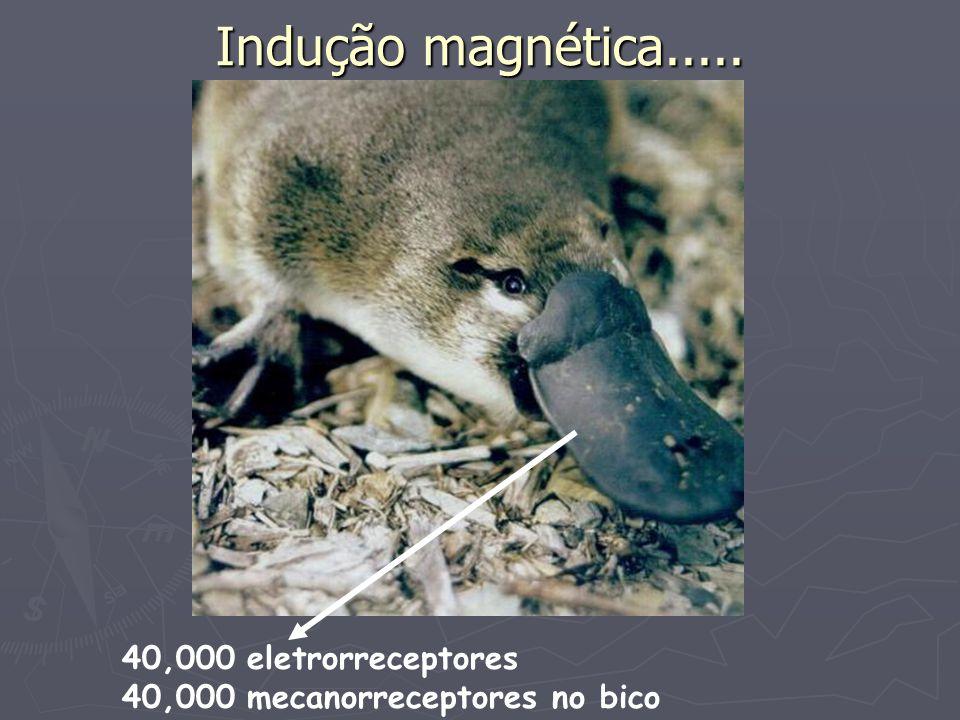 Indução magnética..... 40,000 eletrorreceptores 40,000 mecanorreceptores no bico