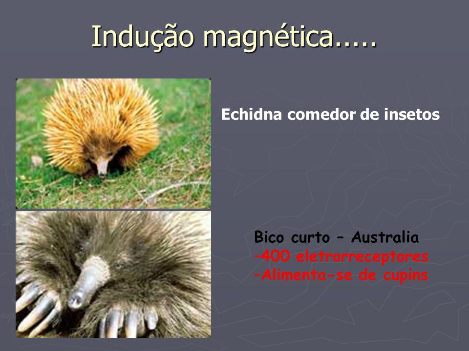 Indução magnética..... Bico curto – Australia –400 eletrorreceptores –Alimenta-se de cupins Echidna comedor de insetos