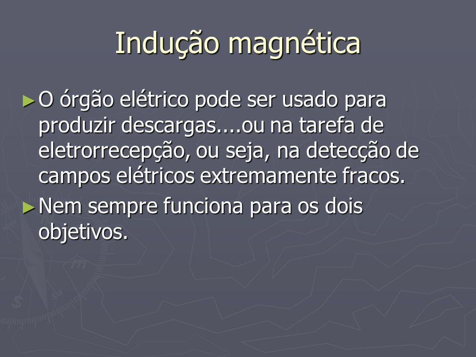 Indução magnética O órgão elétrico pode ser usado para produzir descargas....ou na tarefa de eletrorrecepção, ou seja, na detecção de campos elétricos extremamente fracos.