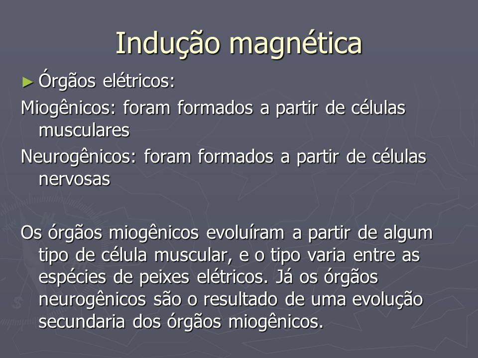 Indução magnética Órgãos elétricos: Órgãos elétricos: Miogênicos: foram formados a partir de células musculares Neurogênicos: foram formados a partir de células nervosas Os órgãos miogênicos evoluíram a partir de algum tipo de célula muscular, e o tipo varia entre as espécies de peixes elétricos.