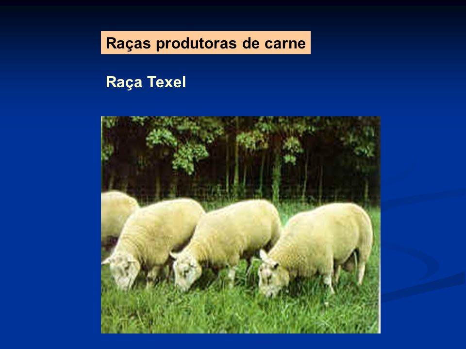 Raça Texel Raças produtoras de carne
