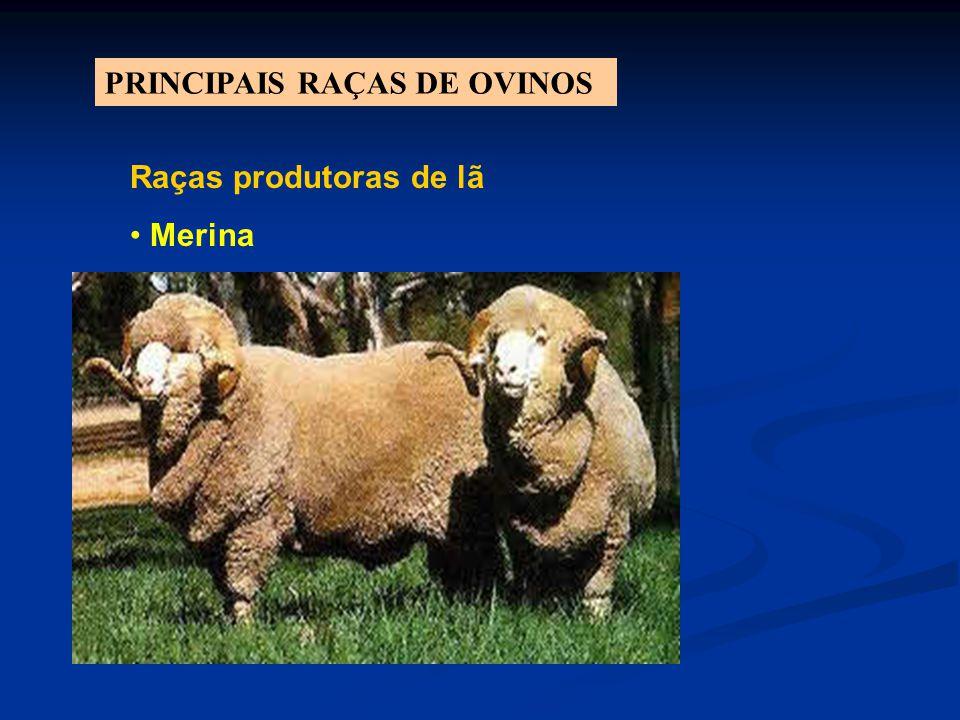 PRINCIPAIS RAÇAS DE OVINOS Raças produtoras de lã Merina