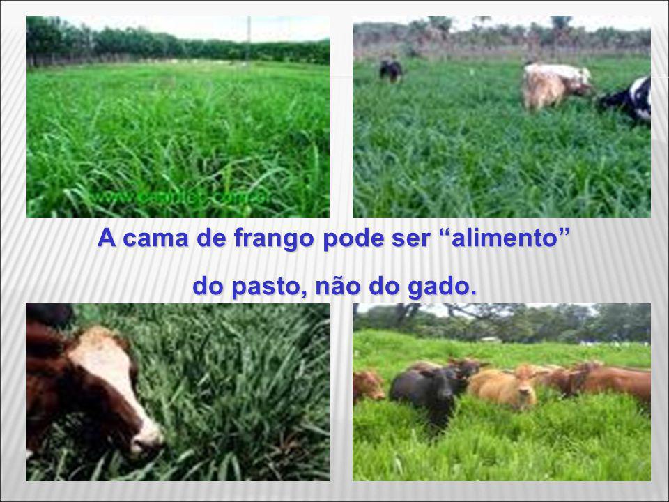 A cama de frango pode ser alimento do pasto, não do gado.