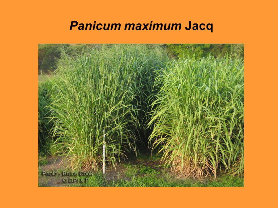 Panicum maximum Jacq