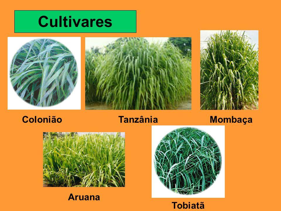 Cultivares ColoniãoTanzâniaMombaça Aruana Tobiatã