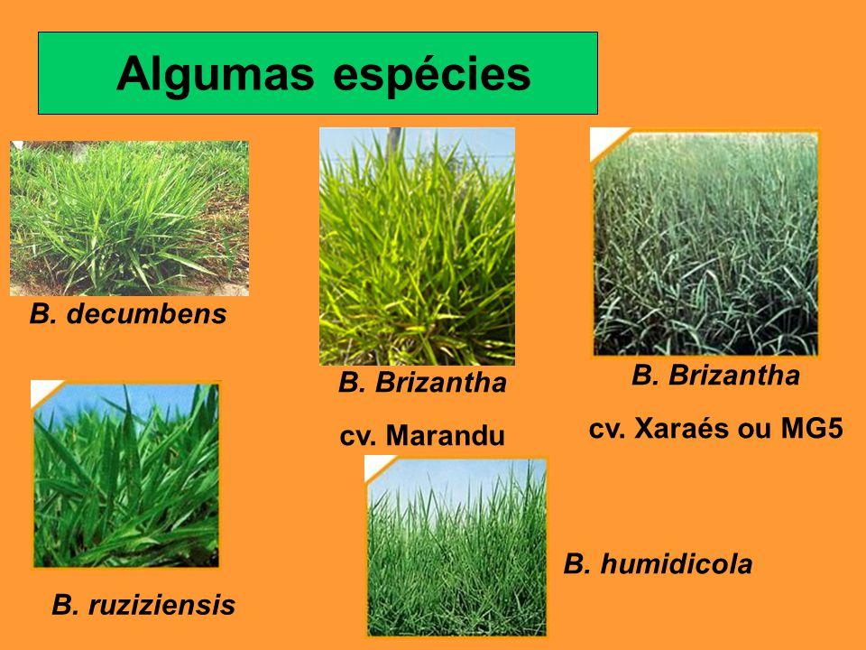 Algumas espécies B. decumbens B. Brizantha cv. Marandu B. ruziziensis B. Brizantha cv. Xaraés ou MG5 B. humidicola