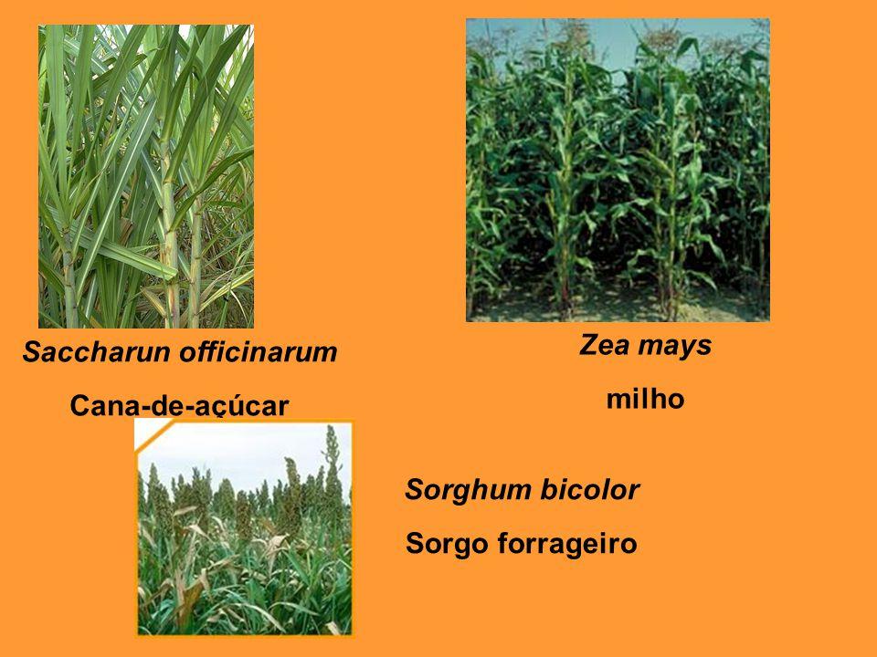 Saccharun officinarum Cana-de-açúcar Zea mays milho Sorghum bicolor Sorgo forrageiro