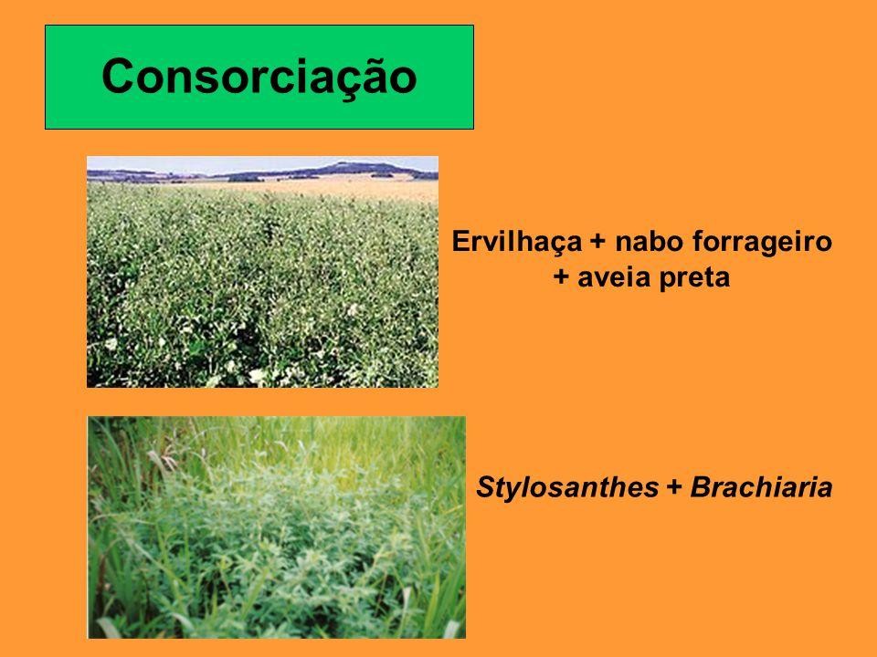 Consorciação Ervilhaça + nabo forrageiro + aveia preta Stylosanthes + Brachiaria