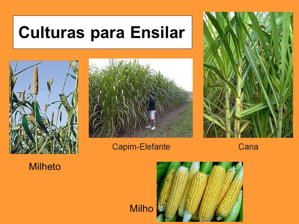 Cana Milheto Capim-Elefante Culturas para Ensilar Milho