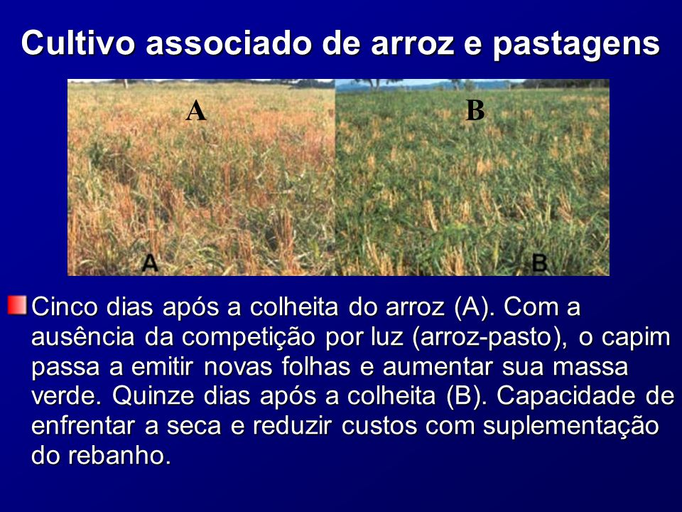Cultivo associado de arroz e pastagens Cinco dias após a colheita do arroz (A).
