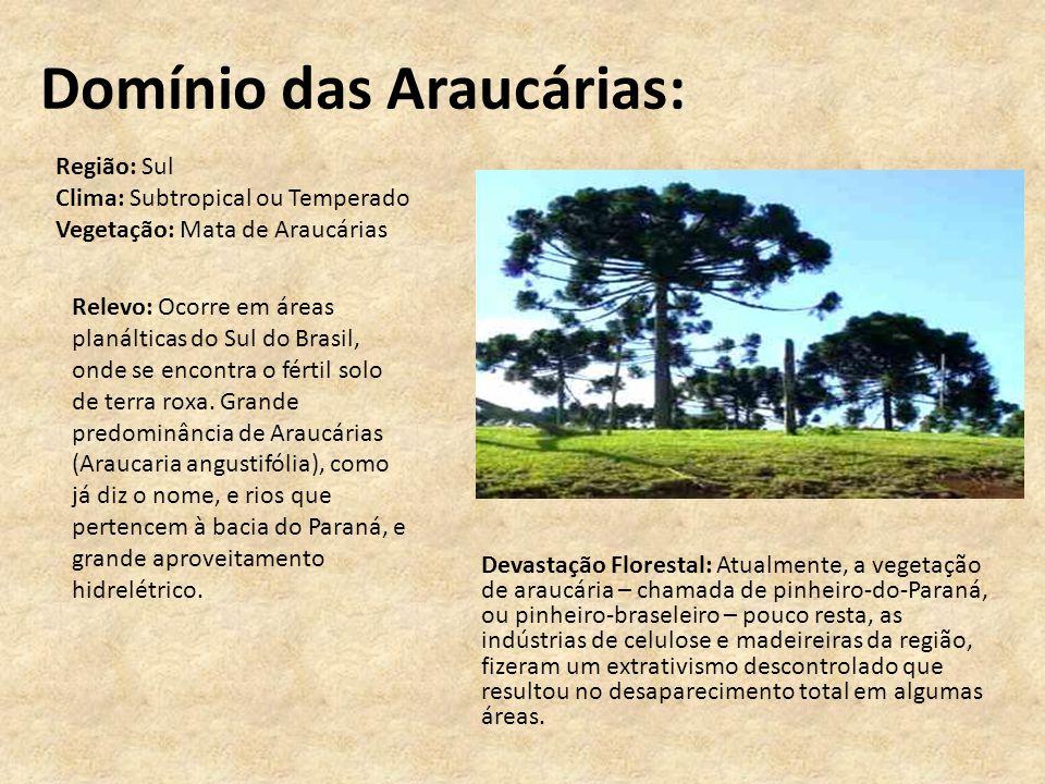 Domínio das Araucárias: Devastação Florestal: Atualmente, a vegetação de araucária – chamada de pinheiro-do-Paraná, ou pinheiro-braseleiro – pouco res