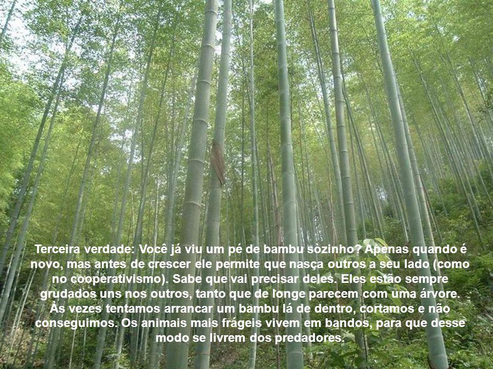 Segunda verdade: o bambu cria raízes profundas. É muito difícil arrancar um bambu, pois o que ele tem para cima ele tem para baixo também. Você precis