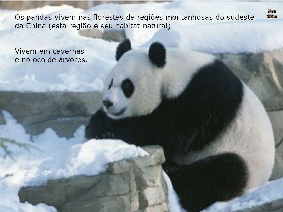 Os pandas vivem nas florestas da regiões montanhosas do sudeste da China (esta região é seu habitat natural).