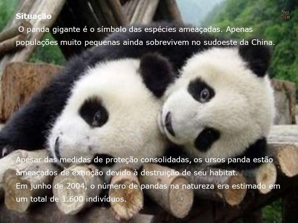 Hoje, os ursos panda remanescentes consistem em apenas seis populações, que vivem no sudoeste da China.