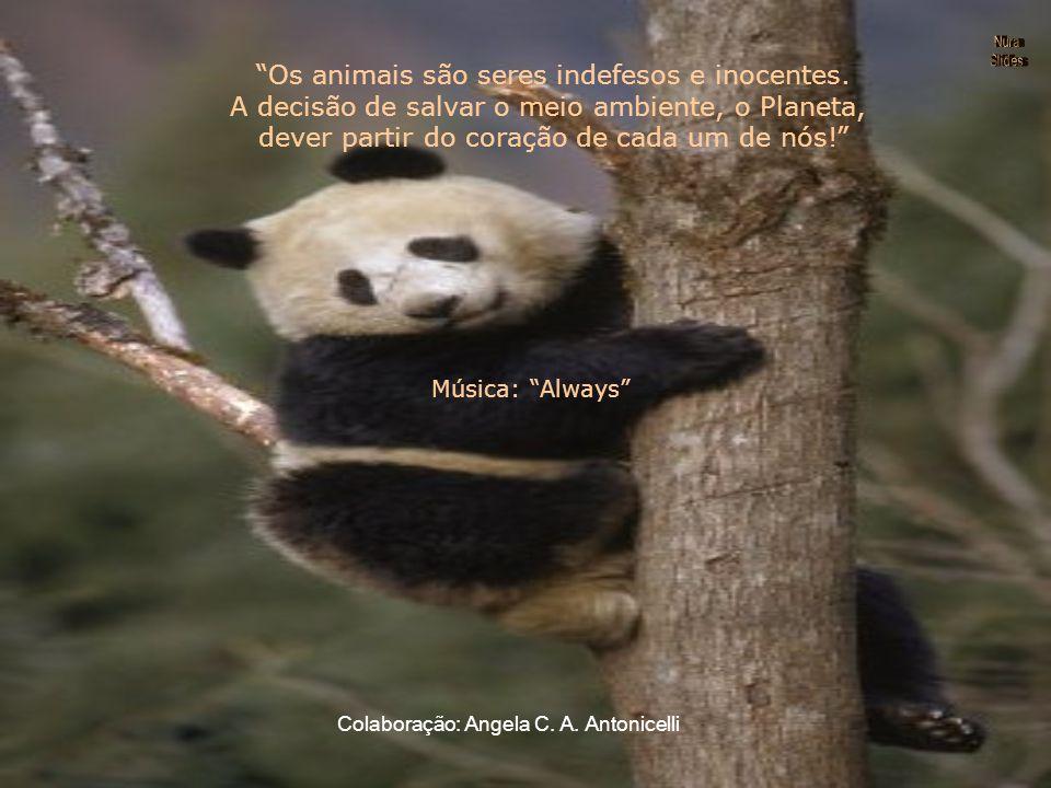 Situação O panda gigante é o símbolo das espécies ameaçadas. Apenas populações muito pequenas ainda sobrevivem no sudoeste da China. Apesar das medida