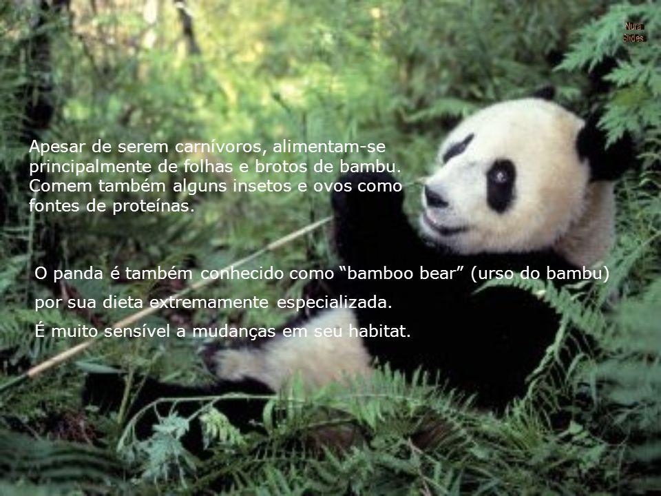 Apesar de serem carnívoros, alimentam-se principalmente de folhas e brotos de bambu.