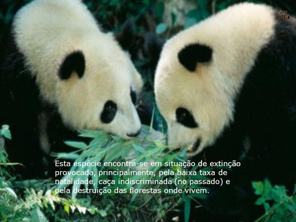 Ao contrário de outras espécies de ursos, os pandas não hibernam durante o inverno. Durante a fase da primavera ocorre o acasalamento, sendo que os fi