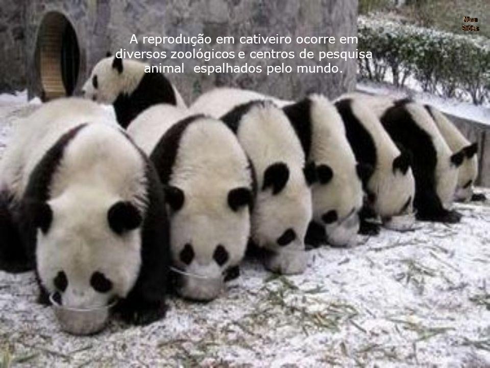 A reprodução em cativeiro ocorre em diversos zoológicos e centros de pesquisa animal espalhados pelo mundo.