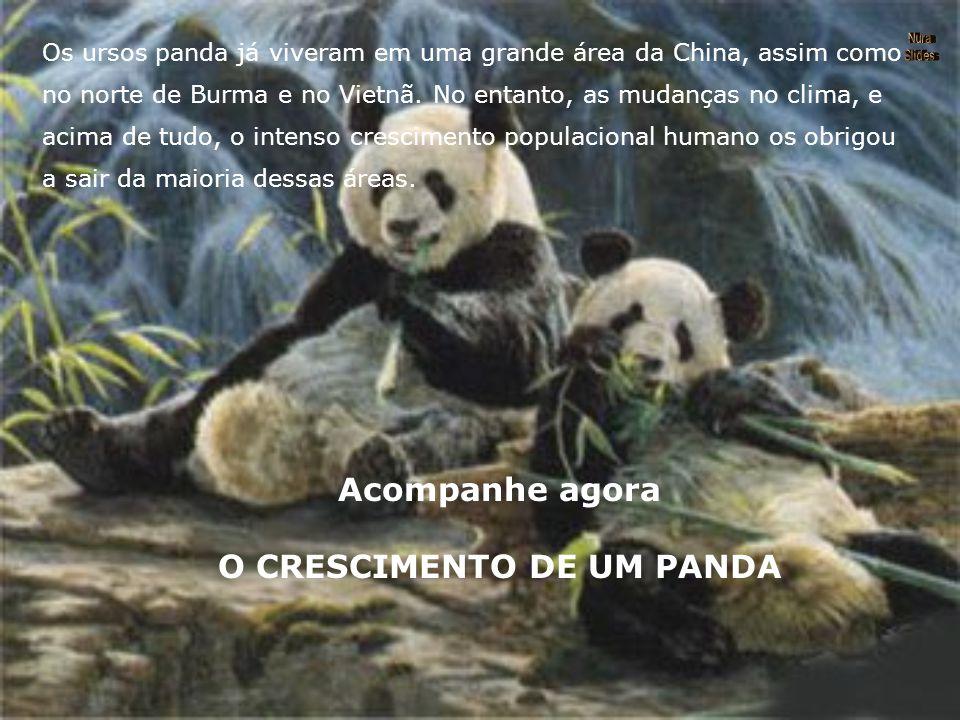 Acompanhe agora O CRESCIMENTO DE UM PANDA Os ursos panda já viveram em uma grande área da China, assim como no norte de Burma e no Vietnã.
