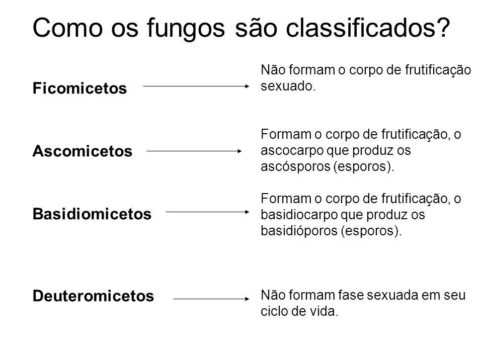 Como os fungos são classificados? Ficomicetos Ascomicetos Basidiomicetos Deuteromicetos Não formam o corpo de frutificação sexuado. Formam o corpo de