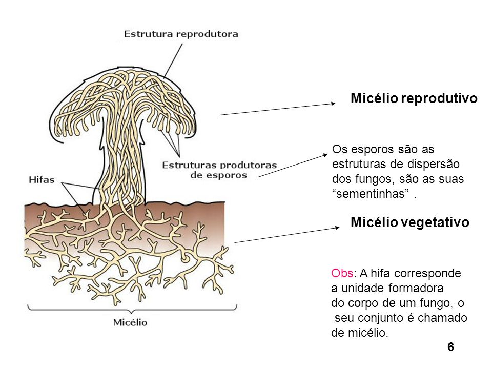 Micélio reprodutivo Micélio vegetativo Obs: A hifa corresponde a unidade formadora do corpo de um fungo, o seu conjunto é chamado de micélio. Os espor