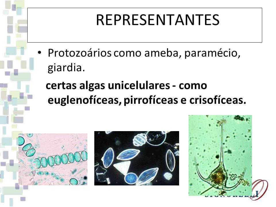 REPREPRESENTANTES Protozoários como ameba, paramécio, giardia. certas algas unicelulares - como euglenofíceas, pirrofíceas e crisofíceas.
