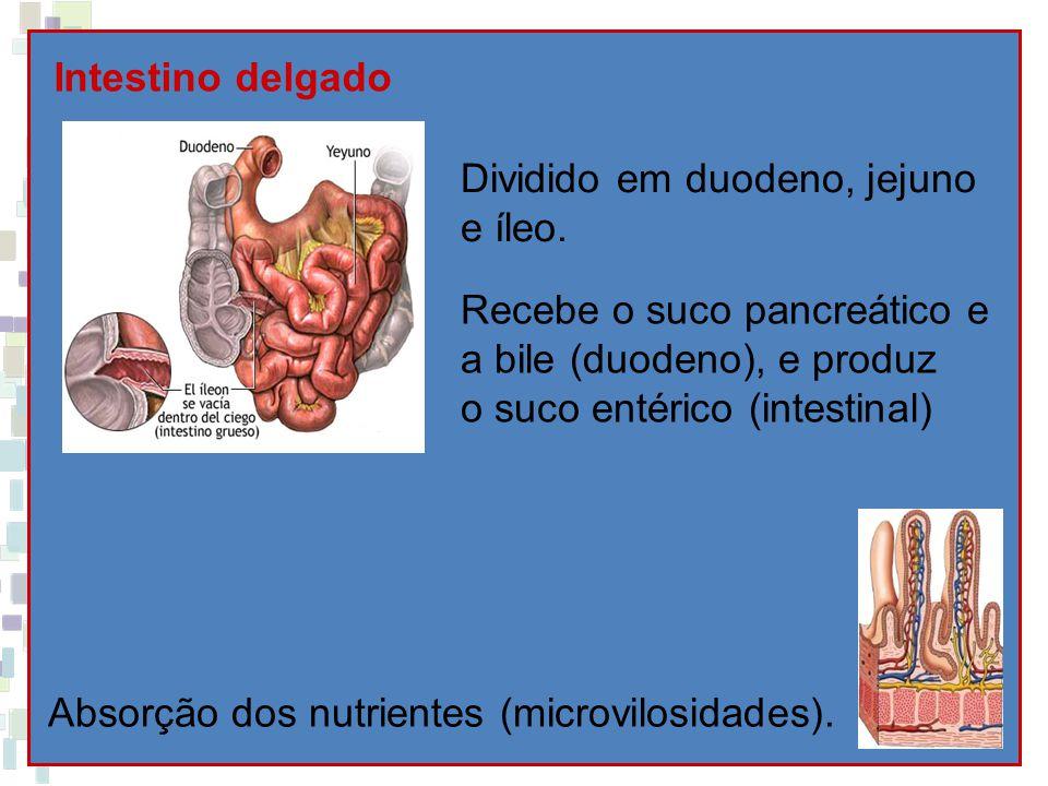 Intestino delgado Dividido em duodeno, jejuno e íleo. Recebe o suco pancreático e a bile (duodeno), e produz o suco entérico (intestinal) Absorção dos