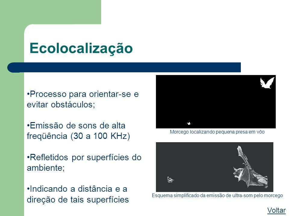 Ecolocalização Voltar Processo para orientar-se e evitar obstáculos; Emissão de sons de alta freqüência (30 a 100 KHz) Refletidos por superfícies do a