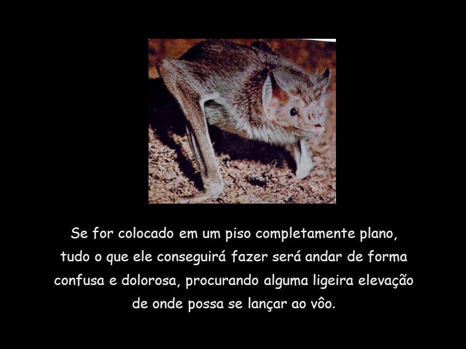 O morcego, criatura notavelmente ágil no ar, não pode sair de um lugar nivelado.