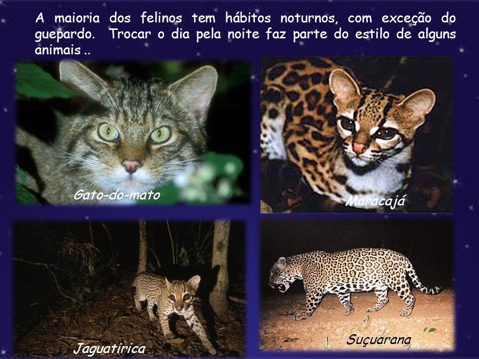 A maioria dos felinos tem hábitos noturnos, com exceção do guepardo. Trocar o dia pela noite faz parte do estilo de alguns animais.. Gato-do-mato Mara