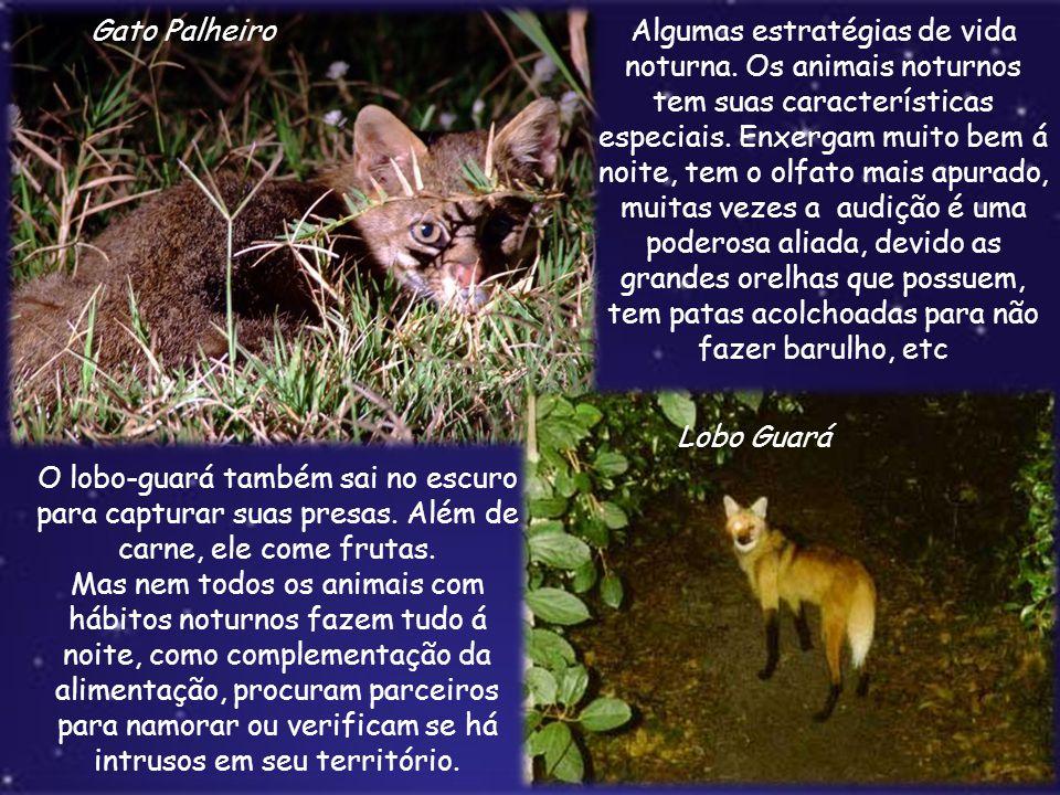 Gato Palheiro Lobo Guará Algumas estratégias de vida noturna. Os animais noturnos tem suas características especiais. Enxergam muito bem á noite, tem