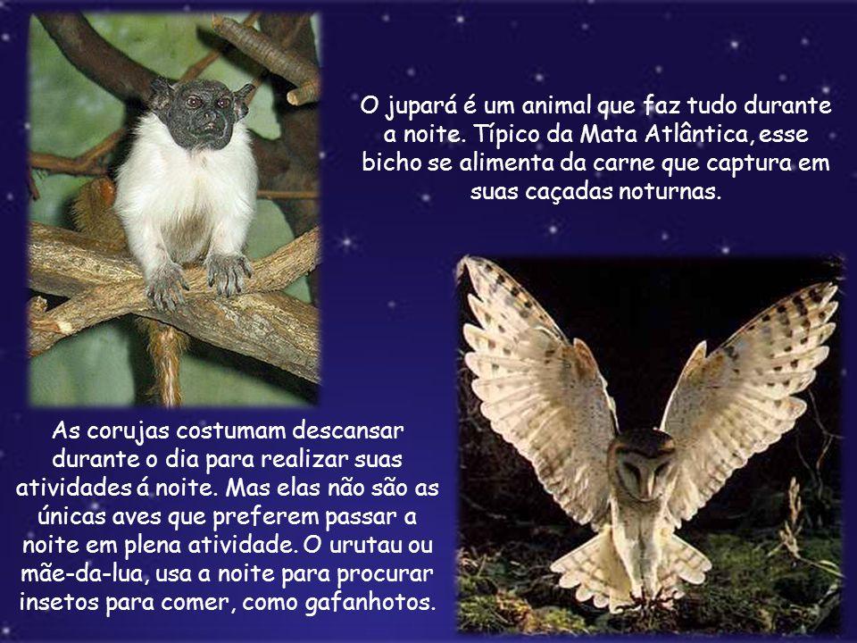 O jupará é um animal que faz tudo durante a noite. Típico da Mata Atlântica, esse bicho se alimenta da carne que captura em suas caçadas noturnas. As